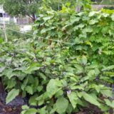 支柱の立て方は基本3種類!伸びてきた茎を支えておおきく育てよう